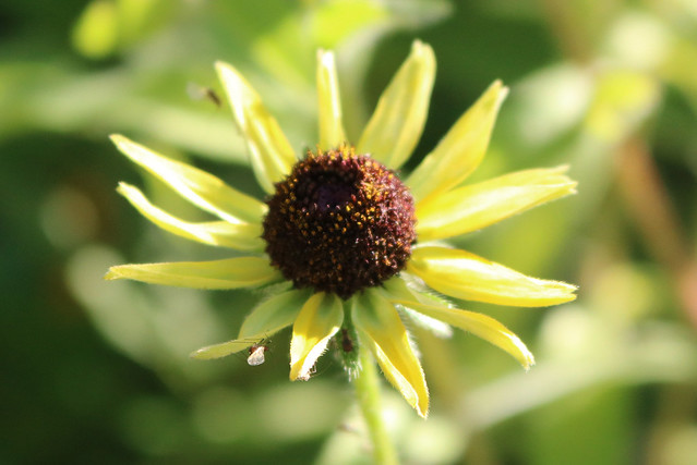 black-eyed susan with narrow petals that are light green instead of yellow