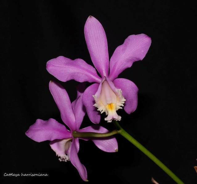 Cattleya harrisoniana  36125833140_aab14be1c7_z