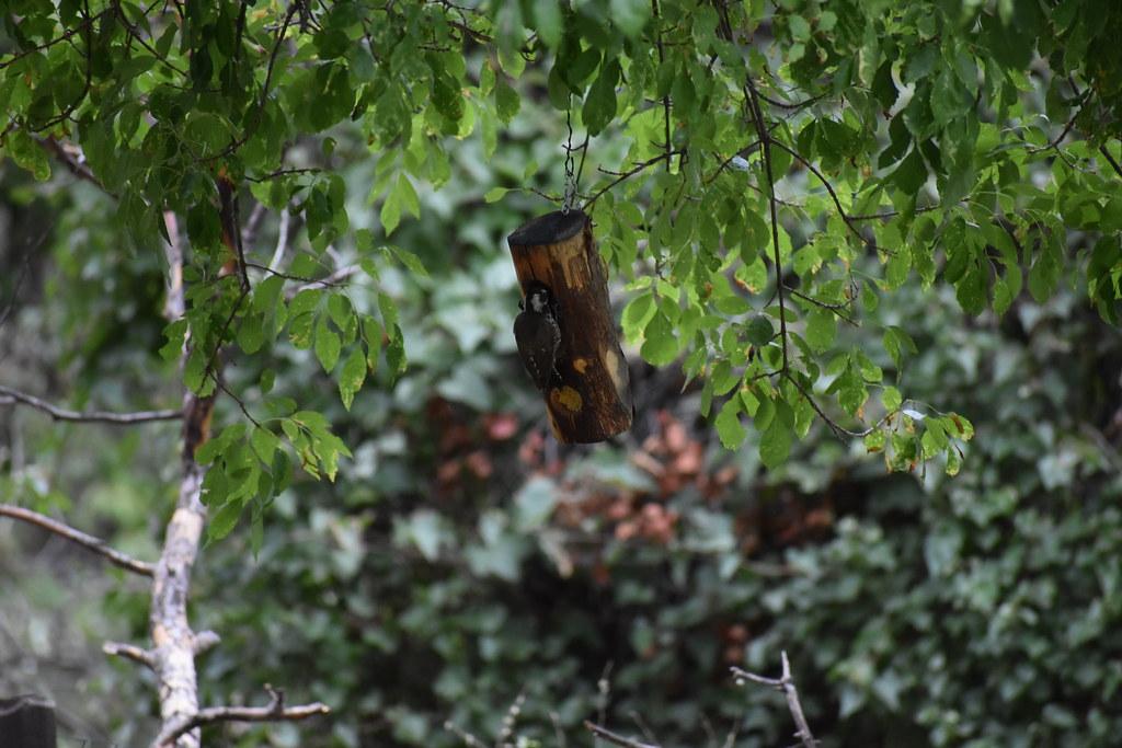 arizona wood pecker