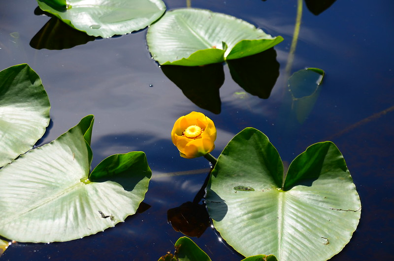 Yellow Water Lily (5)