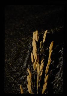 Tn-1 = 籾にでたいもち病