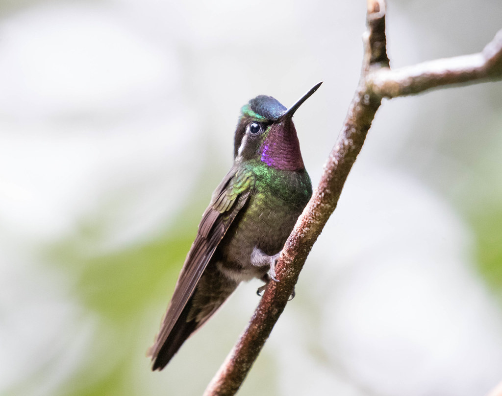 Purple-throated Mountain-gem