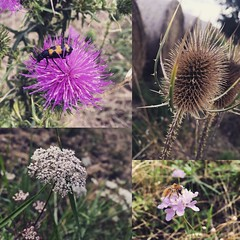 Un peu de faune et de flore  #flowers #nature #naturelovers #petals #floral #thistle #bee #grass #field #walk #ride #natureporn #beautiful #calm #blossom