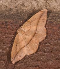 Juniper Geometer Moth