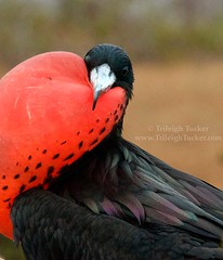 Magnificent Frigatebird with gular pouch inflated