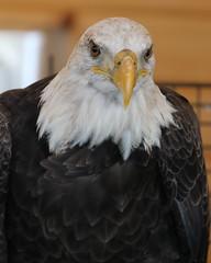 Eagle Close Up LMP6B