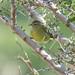 Orange-crowned Warbler (Oreothlypis celata)