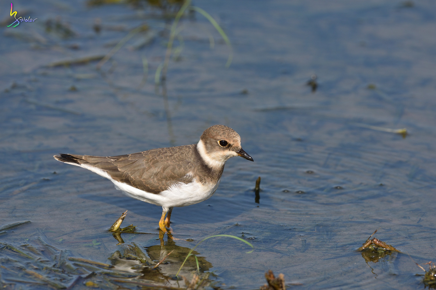 Little_Ringed_Plover_9154