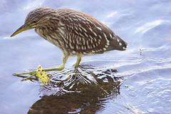 Juvenile Black-crowned Night-Heron wading and fishing on Carroll Creek at Baker Park - Frederick Maryland USA