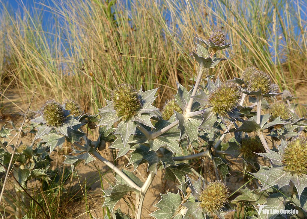 P1100534 - Sea Holly