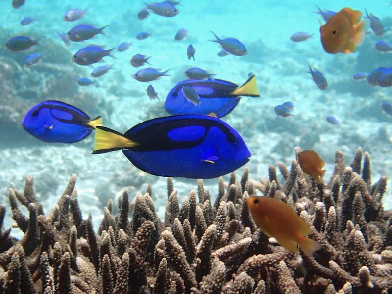 Palette surgeonfish_голубой (флаговый) хирург_P8060213+
