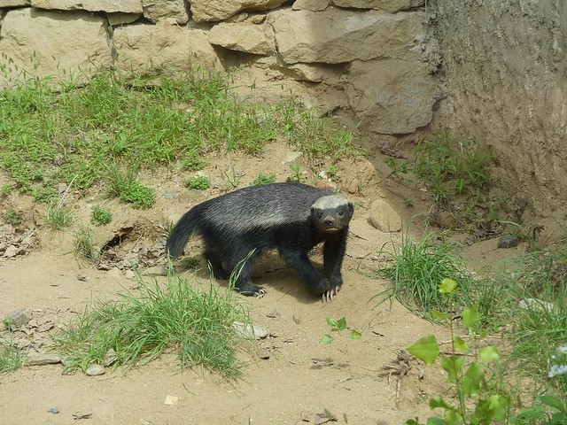 Honigdachs, Zoo Prag
