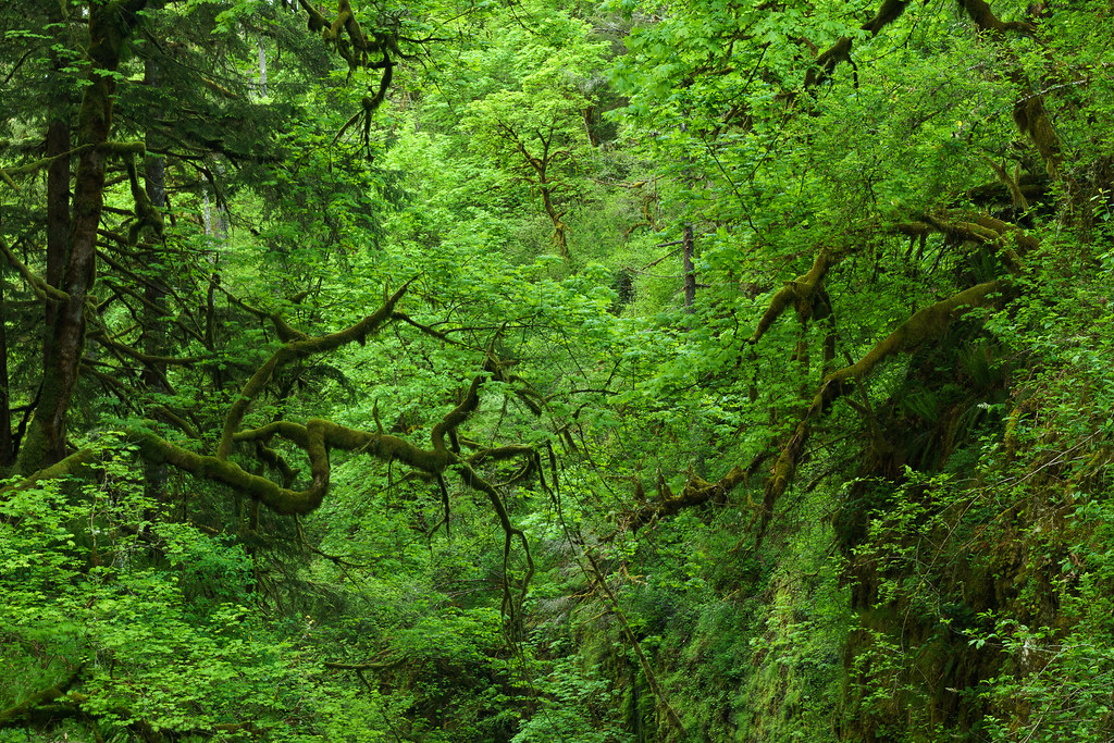Moss-covered trees nearly touch across the Oneonta Gorge