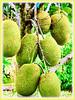Artocarpus heterophyllus (Jackfruit, Jack Tree, Jakfruit, Nangka in Malay)
