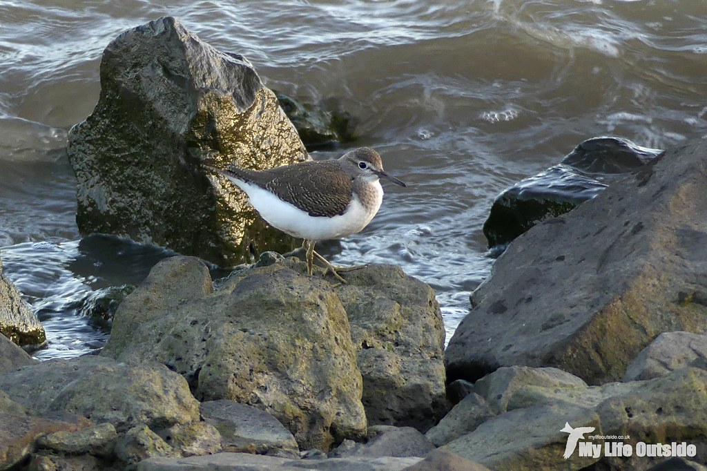 P1120164_2 - Common Sandpiper, Burry Inlet