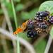 Comma butterfly on bramble