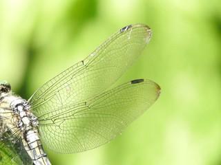 ムギワラトンボ 07 美しい網目