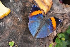 Indian Orange Oakleaf Butterfly (Kallima inachus)