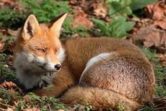 Portrait of a fox....