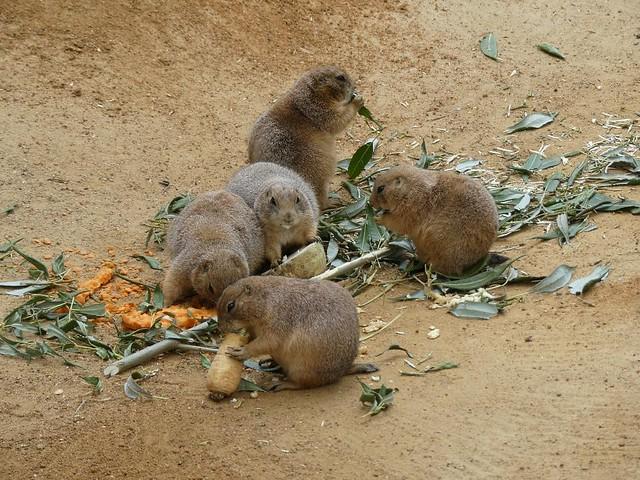 Präriehunde, Zoo Prag