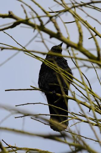 Alert crow overhead