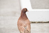 Brown pigeon?