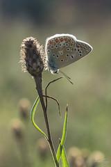 Papillon  Azuré Lc 26-31aout 17-10
