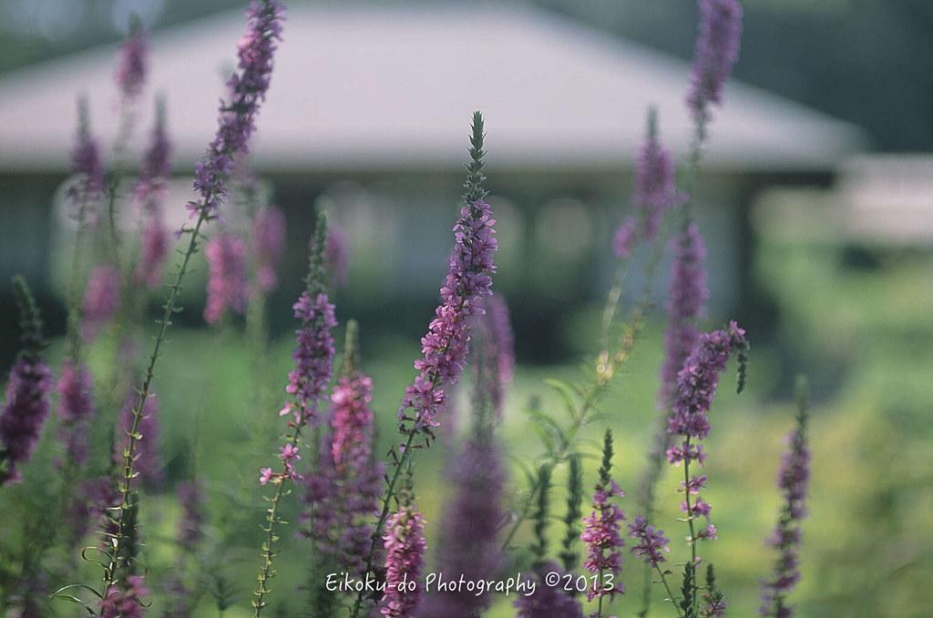くらしの植物苑 2017 朝顔
