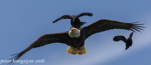 Bald Eagle in flight with crows