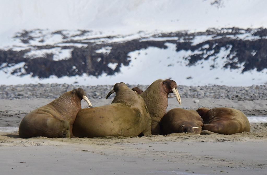 Walruses at Magdalenefjord, Spitsbergen