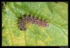 Vanessa atalanta caterpillar - Photo of Antully
