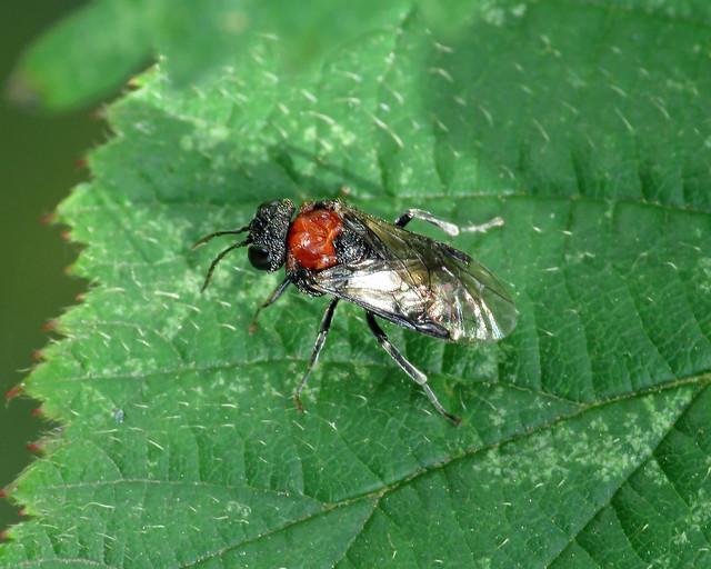 Alder Sawfly - Eriocampa ovata