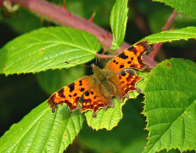 Comma Butterfly VII, Panasonic DMC-FZ8