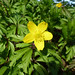 8 Yellow Anemone Firhall, Nairn 230317