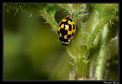 Coccinelle à damier (Propylea quatuordecimguttata) - Photo of Antully