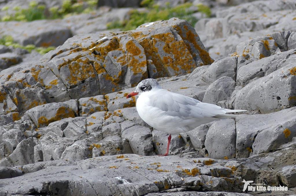 P1100895 - Mediterranean Gull, Bracelet Bay