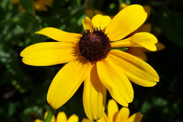 black-eyed susan in bright sunlight, the petal at the 3 o'clock position looks a bit like a cornucopia