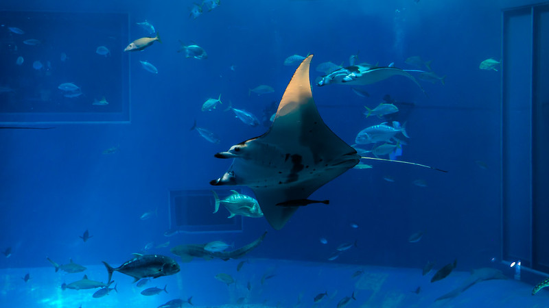 美麗海水族館 / 鬼蝠魟