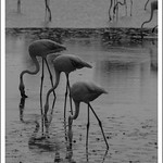 Flamants roses (N&B)