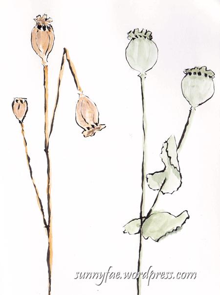 poppy seedhead sketch