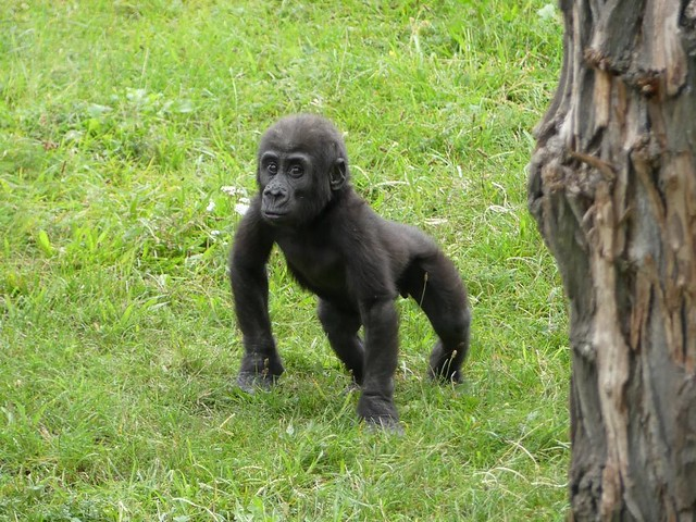 Gorilla, Zoo Prag