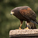 International Birds of Prey Centre (53)