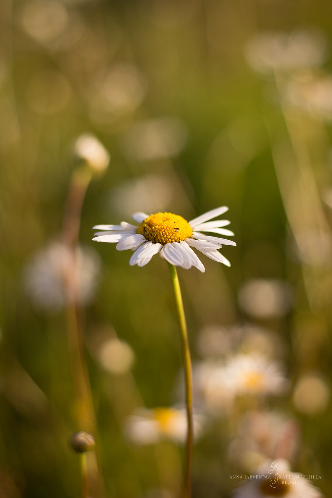 Daisies in a meadow