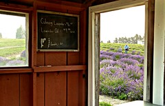 view from the lavender hut