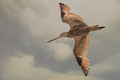 Marbled Godwit in Flight