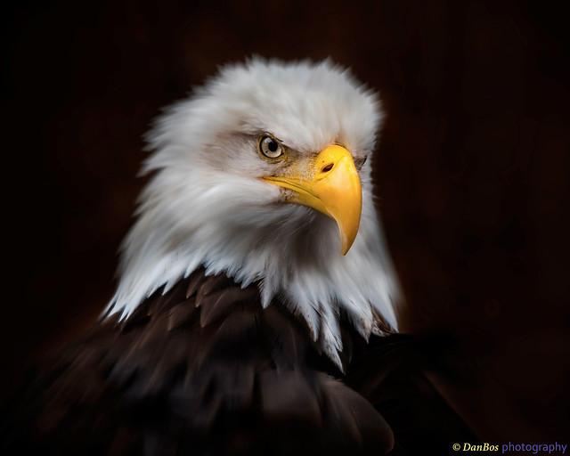 Bald Eagle Royal Portrait