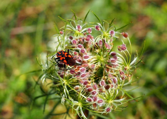 virágbodobács / ground bug