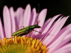 Thick-legged Flower Beetle (Oedemera nobilis) female 1