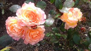 La vie poétique / 416 - Les roses