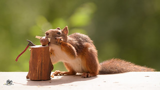 squirrel holds a saw in mouth  and hands